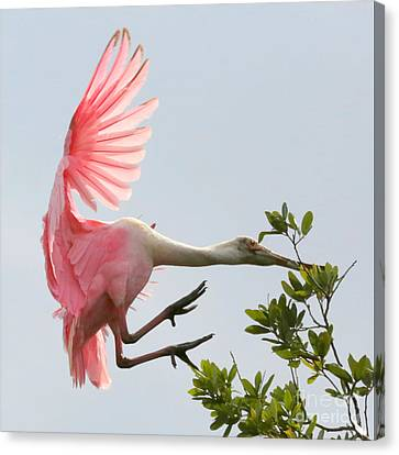 Spoonbill Canvas Print - Rough Landing by Carol Groenen
