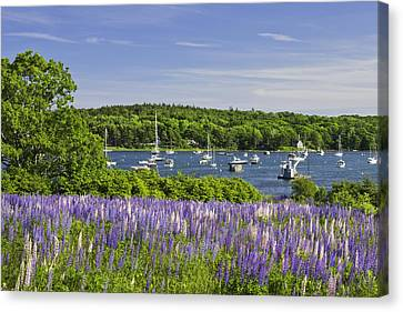Round Pond Lupine Flowers On The Coast Of Maine Canvas Print by Keith Webber Jr