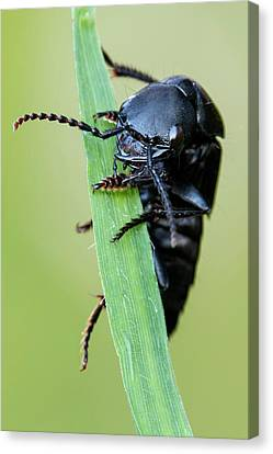 Rove Beetle Canvas Print by Heath Mcdonald