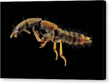 Rove Beetle Canvas Print