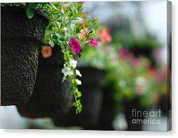 Row Of Hanging Baskets Shallow Dof Canvas Print by Amy Cicconi