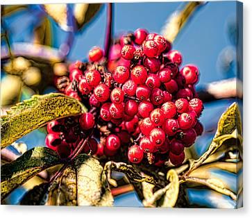 Rowan Berries Canvas Print by Leif Sohlman