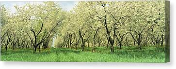 Rows Of Cherry Tress In An Orchard Canvas Print by Panoramic Images