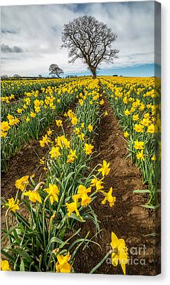 Rows Of Daffodils Canvas Print by Adrian Evans