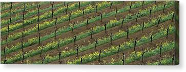 Grape Vines Canvas Print - Rows Of Grape Vines With Mustard by Panoramic Images