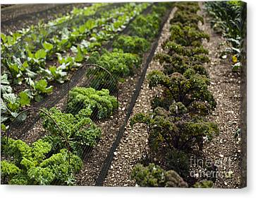 Rows Of Kale Canvas Print by Anne Gilbert