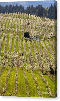 Rows Of Spring Canvas Print by Mike  Dawson