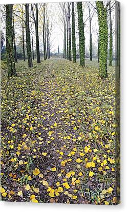 Rows Of Trees With Yellow Leaves And Ivy At Fall Canvas Print by Sami Sarkis