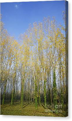 Rows Of Trees With Yellow Leaves Canvas Print by Sami Sarkis