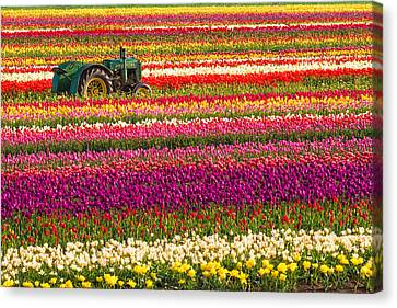 Rows Of Tulips Canvas Print by Patricia Davidson