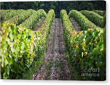 Rows Of Vines Canvas Print by Tony Priestley