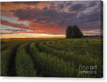 Rows Of Wheat Canvas Print
