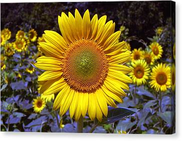 Canvas Print featuring the photograph Roxanna Sunflower by Bill Swartwout
