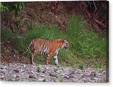 Royal Bengal Tiger On The Riverbed Canvas Print by Jagdeep Rajput
