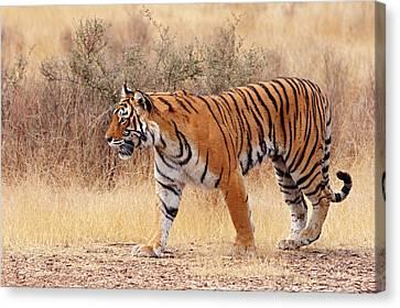 Threatening Canvas Print - Royal Bengal Tiger Walking Around Dry by Jagdeep Rajput