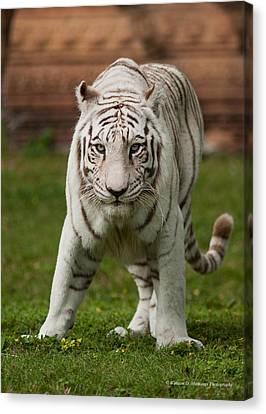 Royal Bengal Tiger Canvas Print