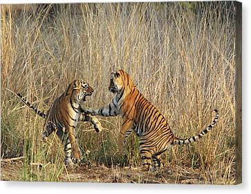 Royal Bengal Tigers Play-fighting Canvas Print by Jagdeep Rajput