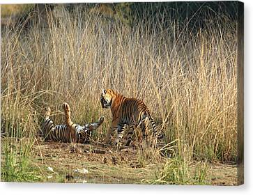 Royal Bengal Tigers Playing Canvas Print by Jagdeep Rajput