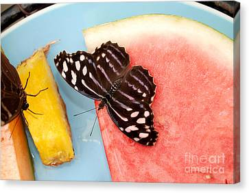 Canvas Print featuring the photograph Royal Blue Butterfly by Eva Kaufman