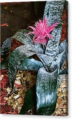 Royal Bromeliad Canvas Print by Sandra Pena de Ortiz