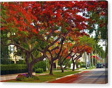 Royal Poinciana Trees In Blooming In South Florida Canvas Print