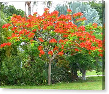 Canvas Print featuring the photograph Royal Poinciana by Kay Gilley