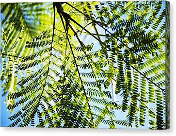 Royal Poinciana Tree Canvas Print by Charmian Vistaunet