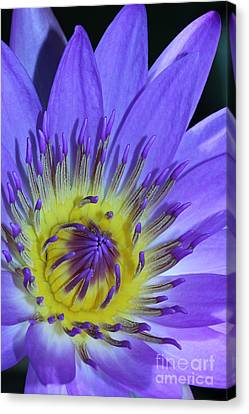 Royal Purple Water Lily #11 Canvas Print