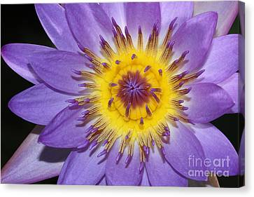 Royal Purple Water Lily #12 Canvas Print