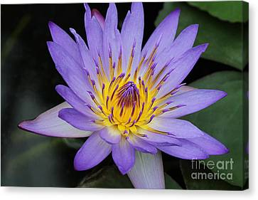 Royal Purple Water Lily #4 Canvas Print by Judy Whitton