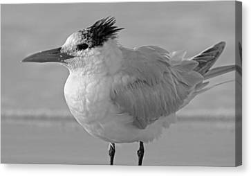Royal Tern On Siesta Key Canvas Print