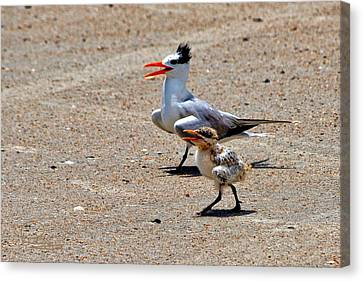 Royal Tern With Chick Canvas Print