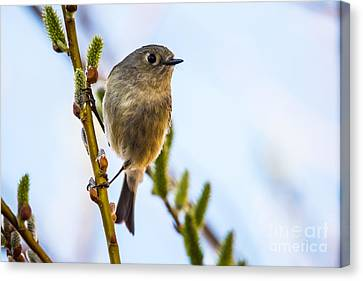 Ruby Crowned Kinglet Canvas Print