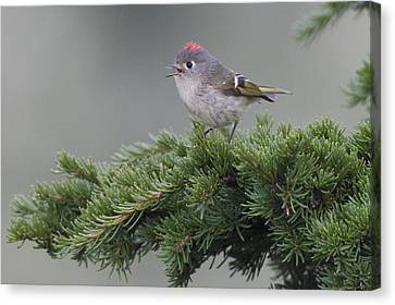 Ruby-crowned Kinglet Perched On A Tree Canvas Print