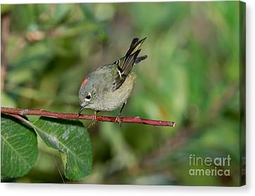 Ruby-crowned Kinglet Showing Crown Canvas Print