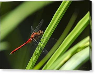 Ruby Meadowhawk Dragonfly On Green Grass Canvas Print