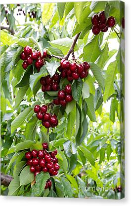 Grocery Store Canvas Print - Ruby Red Cherries by Carol Groenen