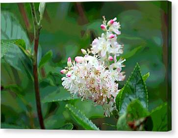 Ruby Spice - Clethraceae Canvas Print by Suzanne Gaff