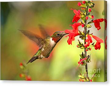 Ruby Throat Hummingbird Photo Canvas Print