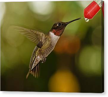 Canvas Print featuring the photograph Ruby-throat Hummingbird by Robert L Jackson