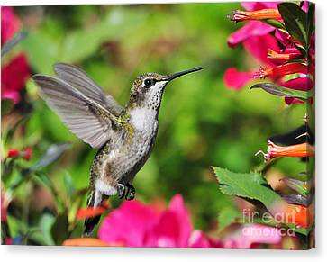 Canvas Print featuring the photograph Ruby Throated Humingbird by Kathy Baccari