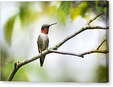Ruby Throated Hummingbird Canvas Print by Christina Rollo