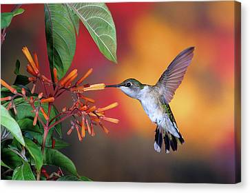 Ruby-throated Hummingbird Archilochus Canvas Print
