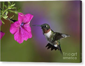 Ruby-throated Hummingbird - D004190 Canvas Print by Daniel Dempster