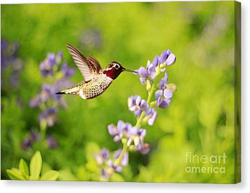 Ruby Throated Hummingbird Canvas Print by Darren Fisher