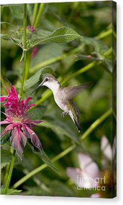 Ruby-throated Hummingbird Canvas Print by Gregory K Scott