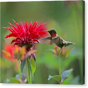 Ruby Throated Hummingbird With Beebalm Canvas Print by Clare VanderVeen