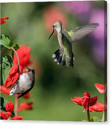 Ruby-throated Hummingbirds Canvas Print by David Lester