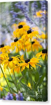Coneflower Canvas Print - Rudbeckia Fulgida Goldsturm by Tim Gainey