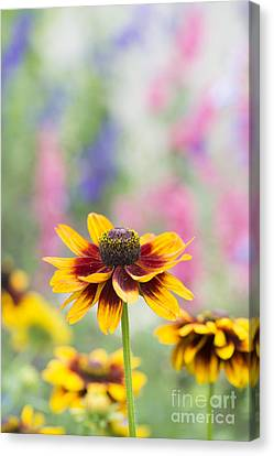 Rudbeckia Hirta Canvas Print by Tim Gainey